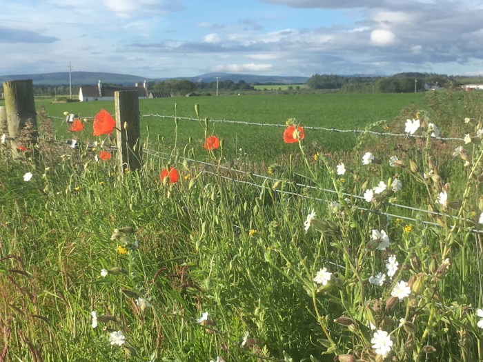 Poppies beside the cycle path between Lossiemouth and Elgin