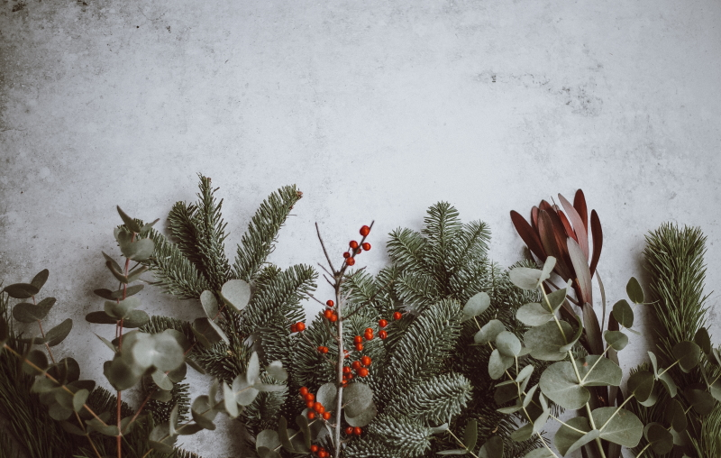 Christmas background with conifer branches and leaves and berries.