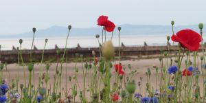Esplanade-Wildflowers-East-Beach-Lossiemouth-Moray