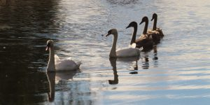 Swans-with-Cygnets-at-Spynie-Canal-Moray